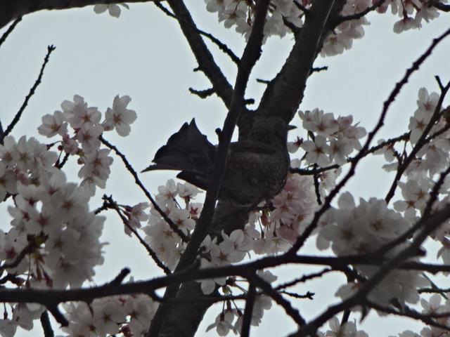 ヒヨドリ,桜の饗宴